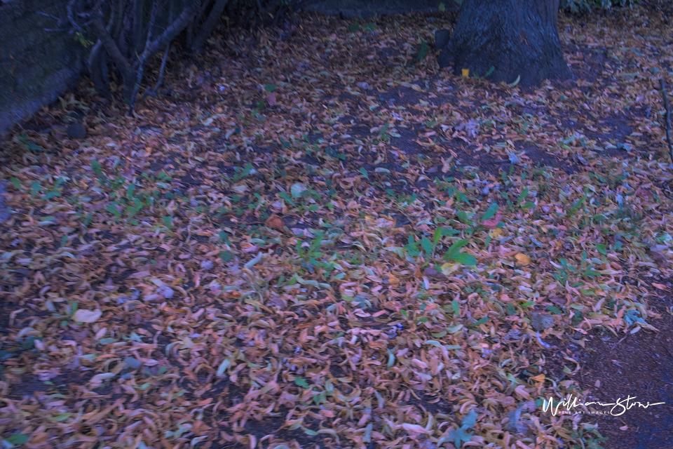 Fallen Leaves - Limited Edition, Fine Art