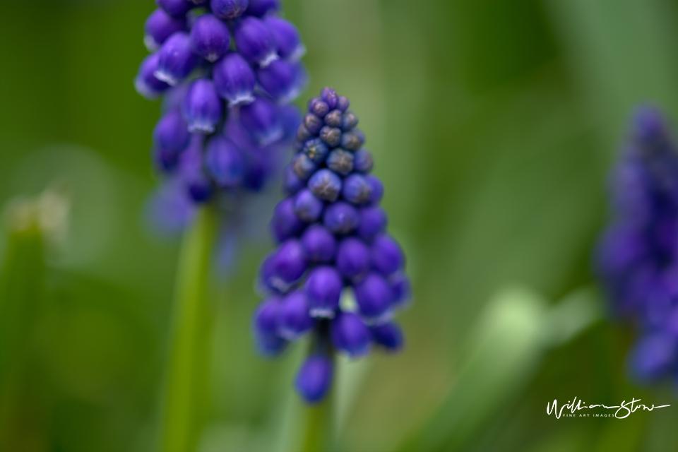 Roundish Purple - Limited Edition, Fine Art