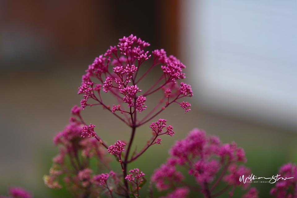 Stringy Purples - Limited Edition, Fine Art